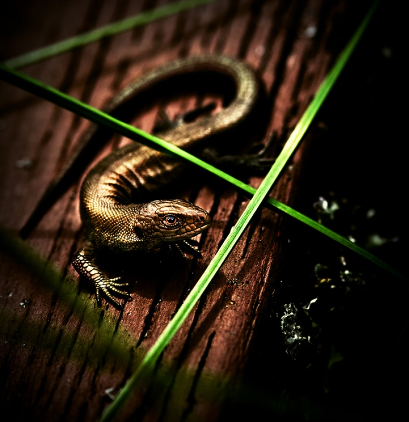 A piece of fine art art photography titled Lizard by Joni Niemelä
