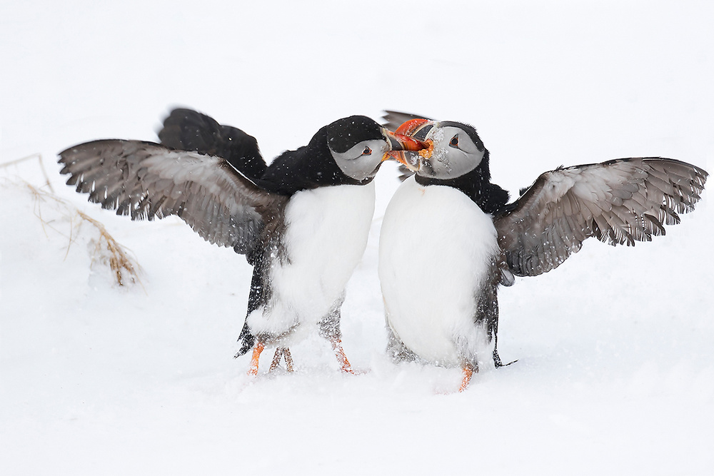 A piece of fine art art photography titled Puffins Figth by Claudine lionnet