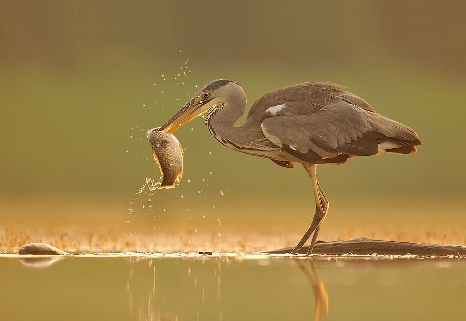 A piece of fine art art photography titled Heron by Brian Scott