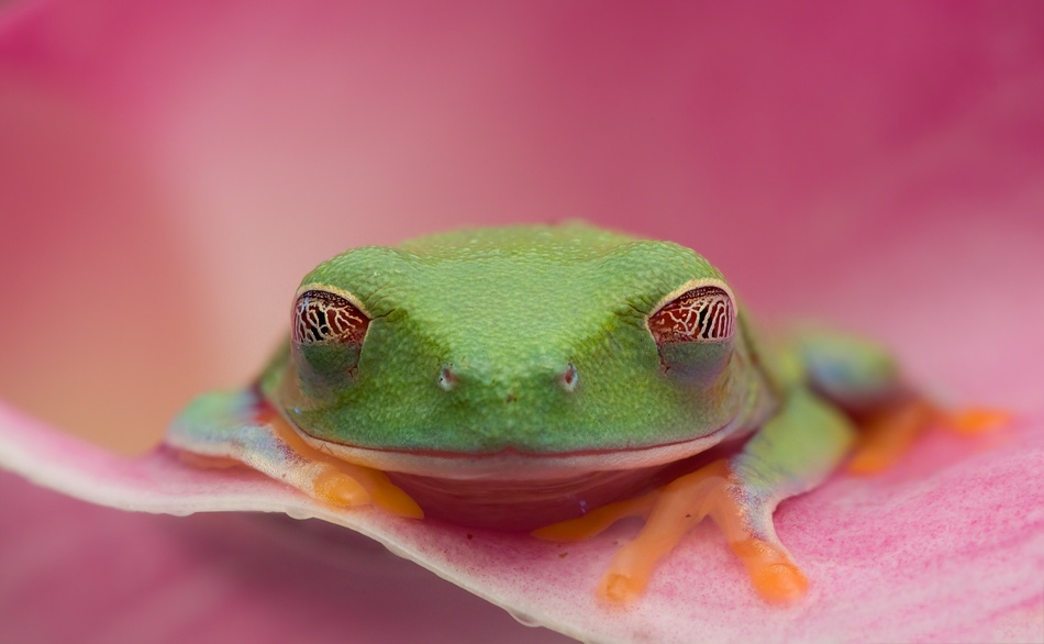 A piece of fine art art photography titled Red Eyed Tree Frog by Christopher Schlaf