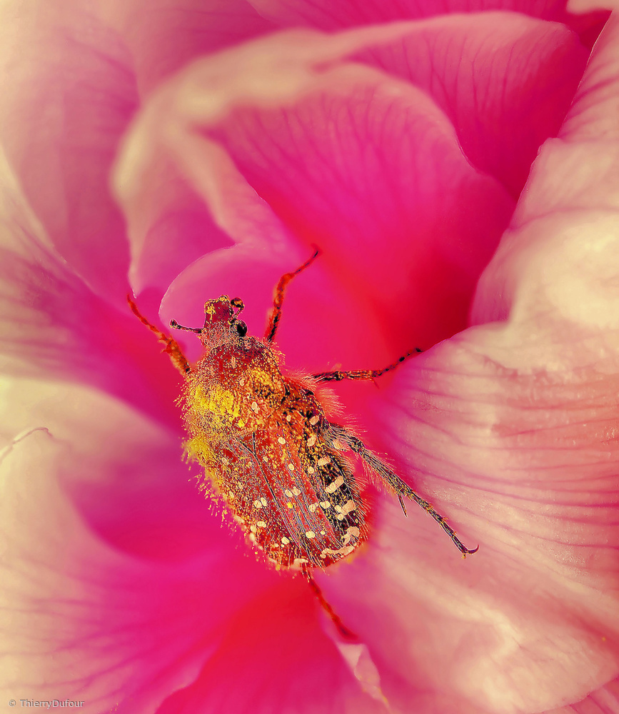 View this piece of fine art photography titled Pink palace... by Thierry Dufour