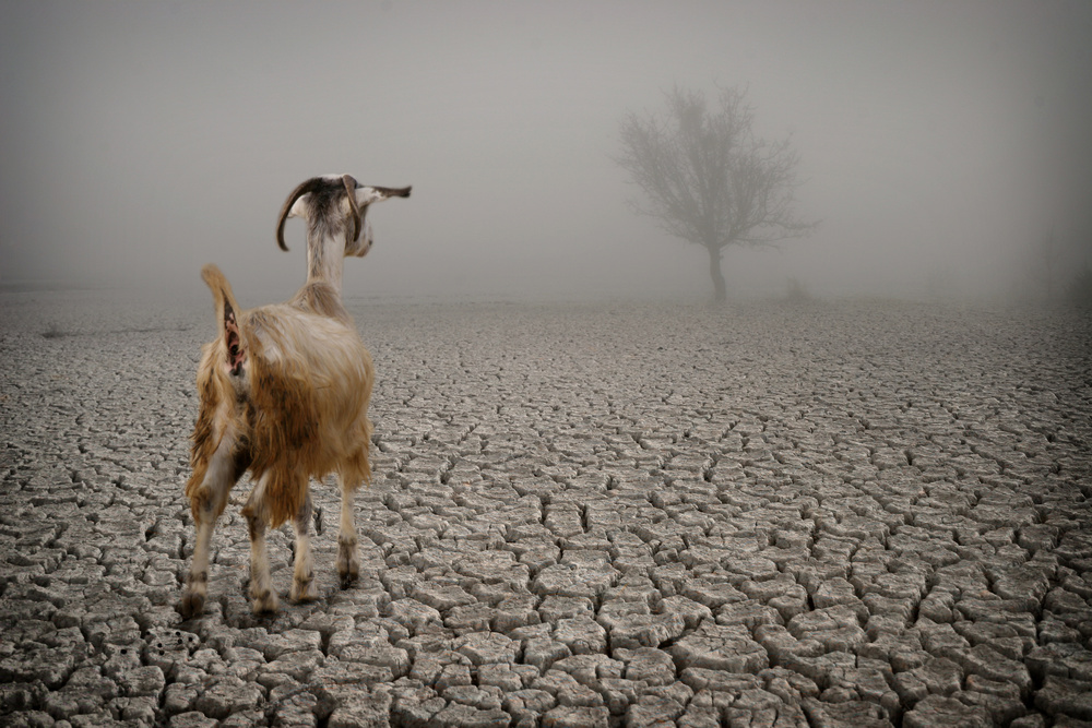A piece of fine art art photography titled Desperate Goat by ahmet orhan