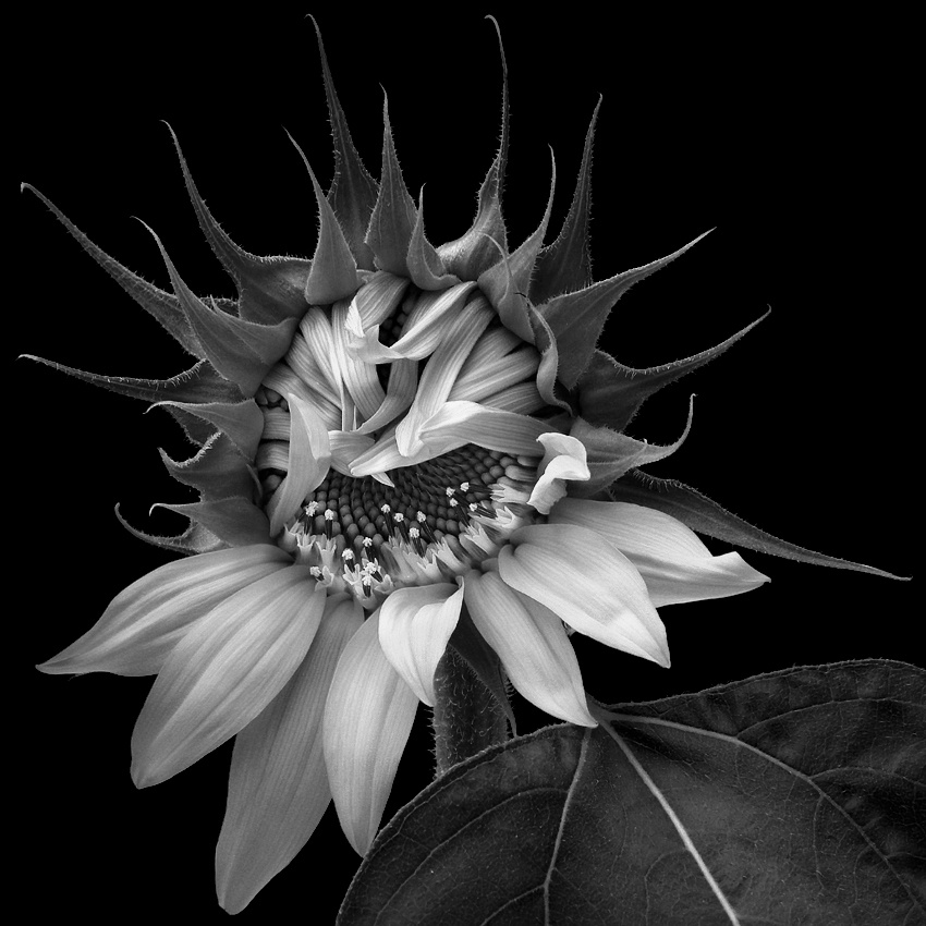 A piece of fine art art photography titled Bashful Sunflower by Gary Pope