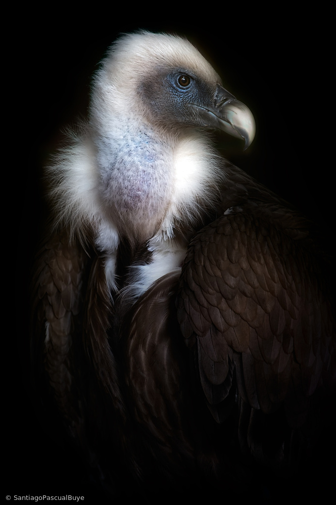 Vulture portrait II