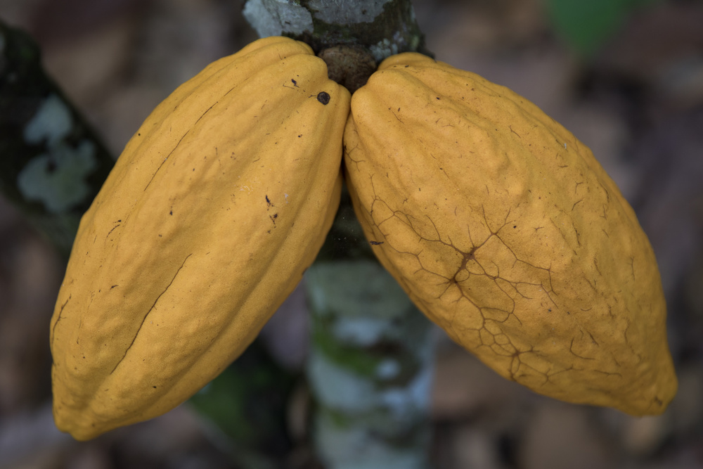 A piece of fine art art photography titled Cacao Pods #2 by Erik Hammar
