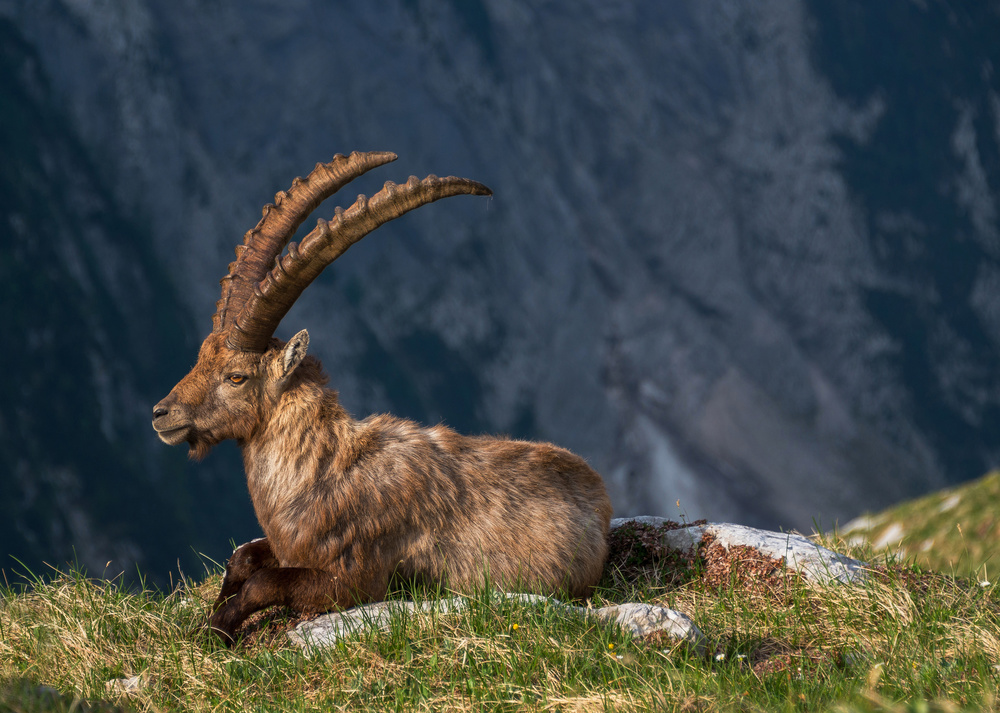 A piece of fine art art photography titled Alpine Ibex by Ales Krivec