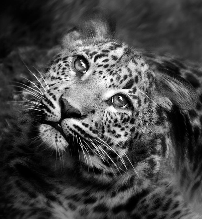 A piece of fine art art photography titled Leopard by Juan Luis Duran
