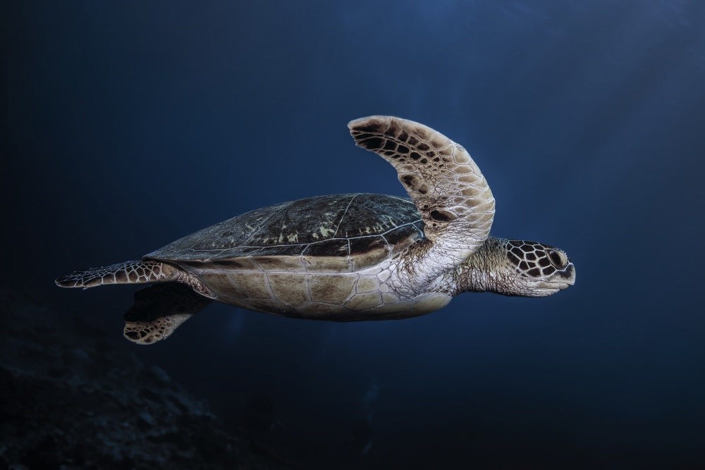 A piece of fine art art photography titled Marine Life: Green Turtle by Barathieu Gabriel