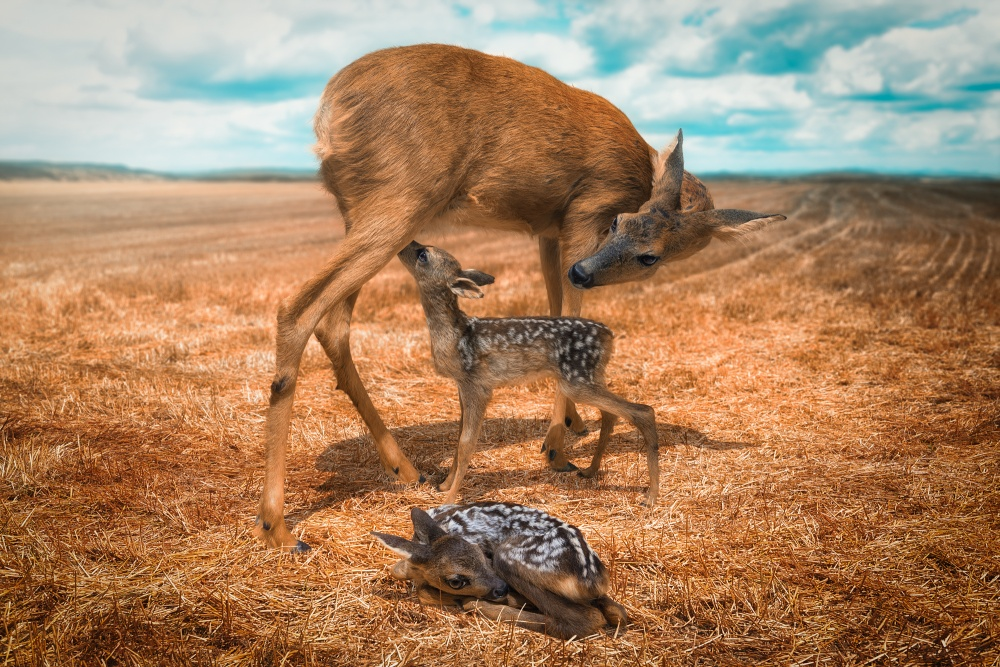 A piece of fine art art photography titled Yet Another Mother With Fawns by John Wilhelm