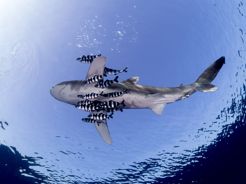 A piece of fine art art photography titled Oceanic White Tip Shark by Ilan Ben Tov