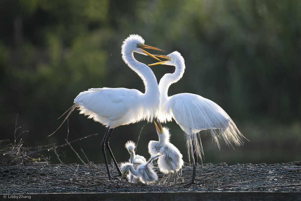 Egret Family of Five