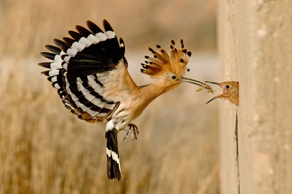 A piece of fine art art photography titled Hoopoe by Dov Kalay
