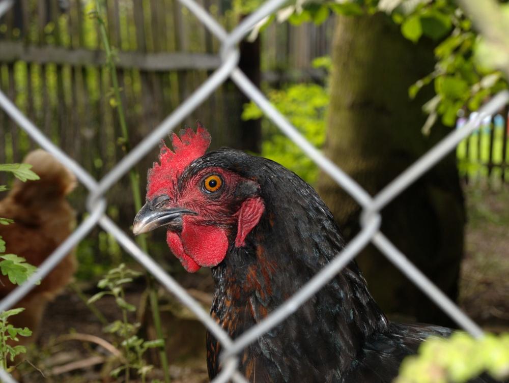 black hen