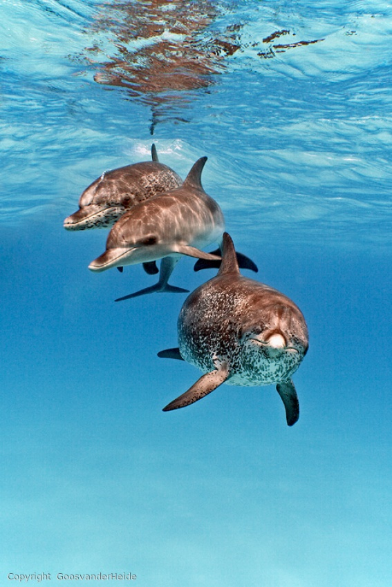 Spotted Dolphin Trio