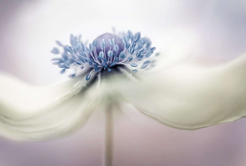 A piece of fine art art photography titled A N E M O N E by Mandy Disher