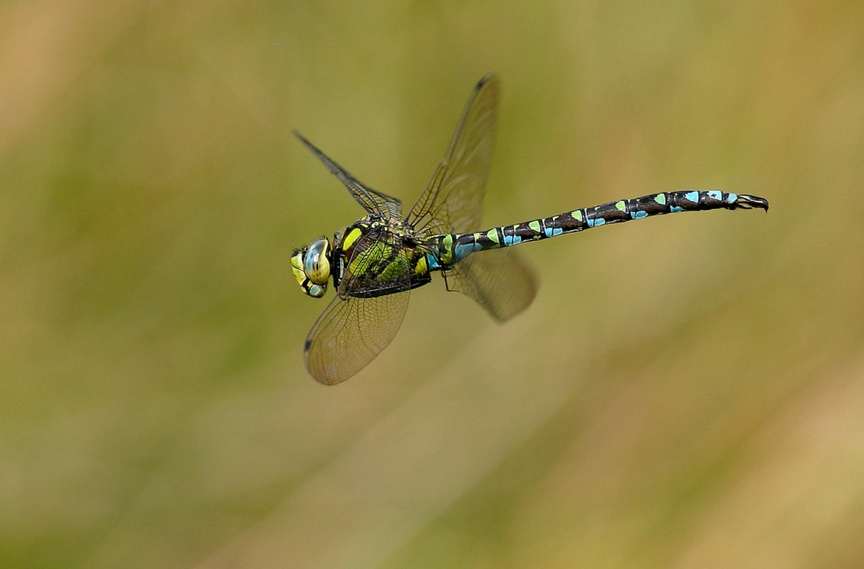 A piece of fine art art photography titled Southern Hawker by Vic. Parsons.