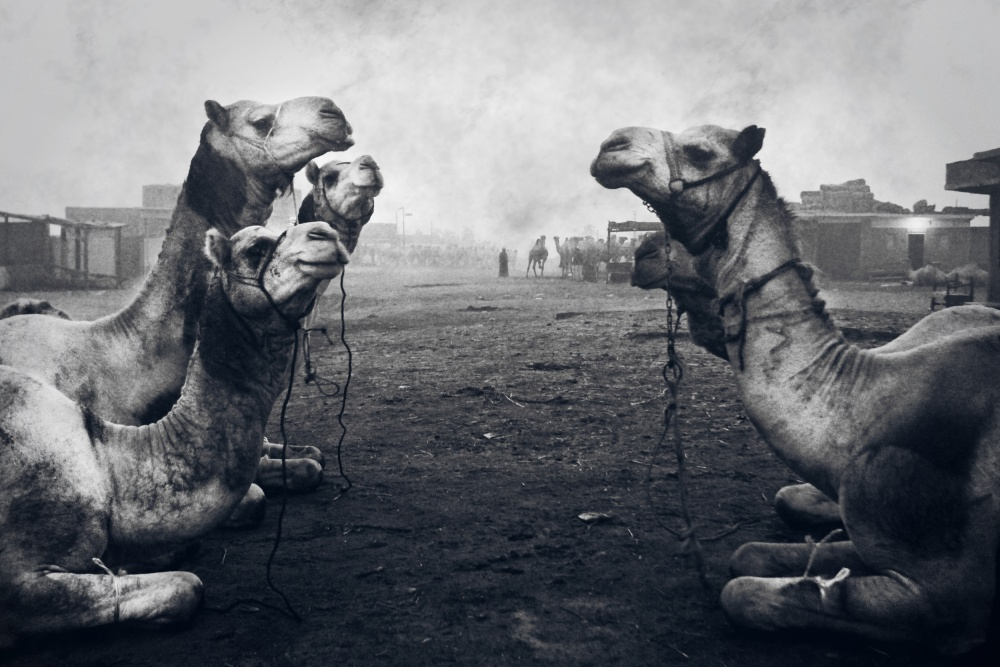 A piece of fine art art photography titled The Shepherd of Camel Market by Mohamed Fawzy Kutp
