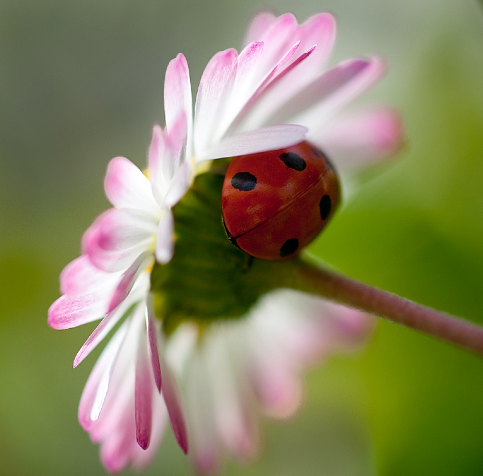 A piece of fine art art photography titled Coccinella by Paolo Giudici
