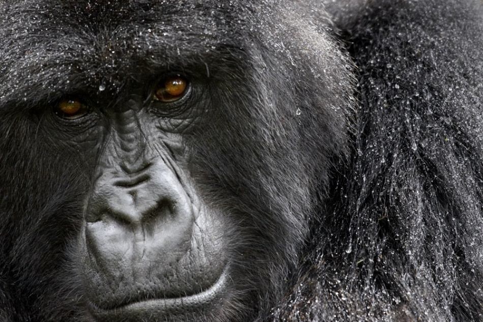 A piece of fine art art photography titled Mountain Gorilla In the Rain by simondeg