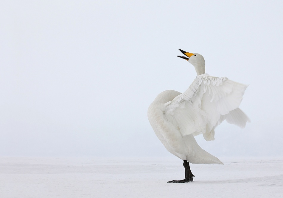 A piece of fine art art photography titled Whooper Swan by Lee Fisher
