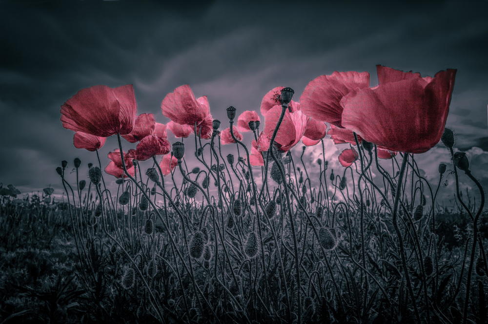 A piece of fine art art photography titled Poppies by Alessandro Traverso