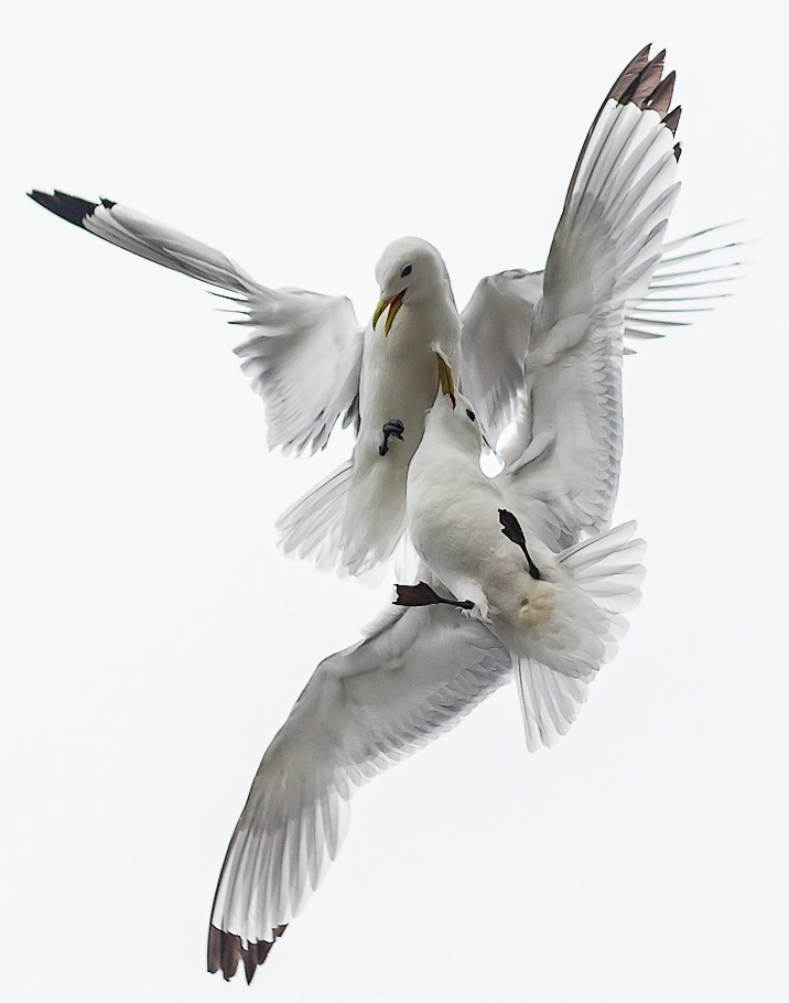 Kittiwakes Air Ballet