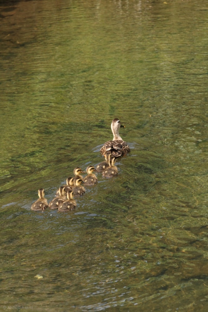 A mama spot-billed duck is leading her young to a safe place.