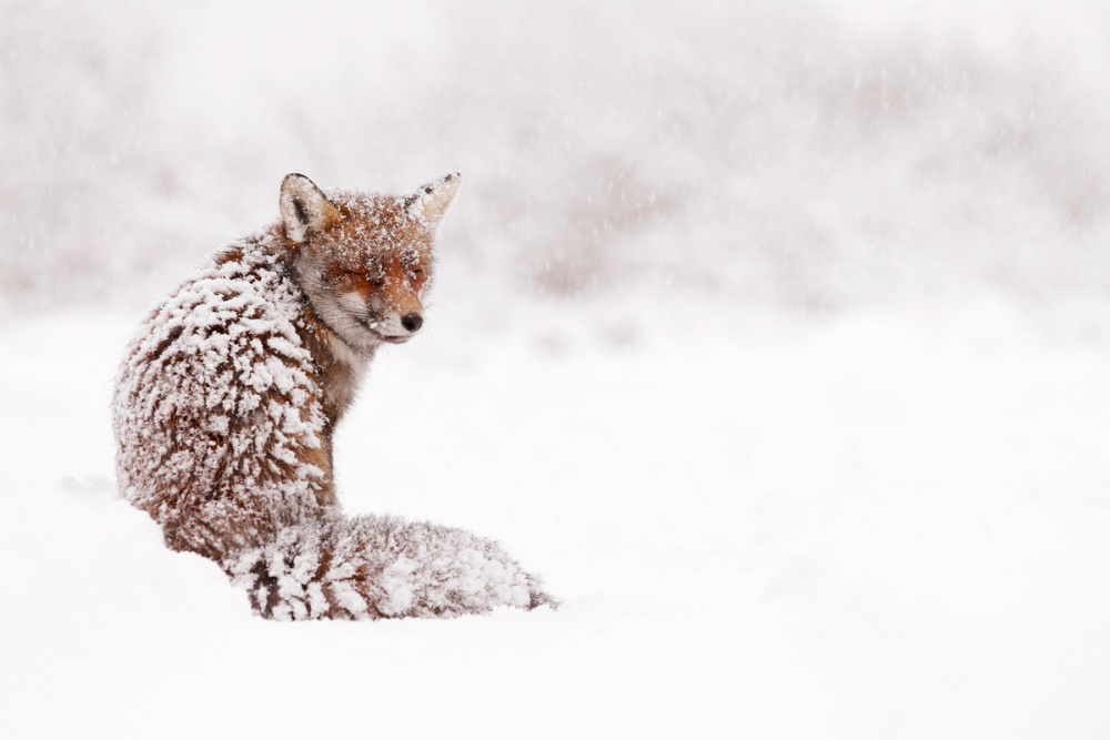 A piece of fine art art photography titled Red Fox In a White World by Roeselien Raimond