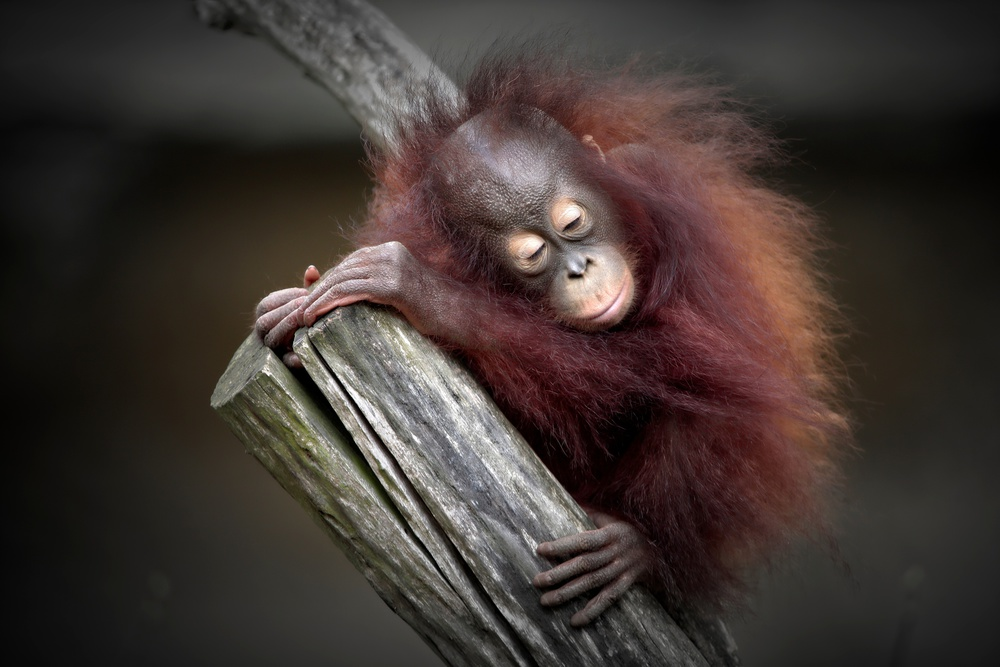 A piece of fine art art photography titled After a Playful Day (orang-utan Baby) by Antje Wenner-Braun