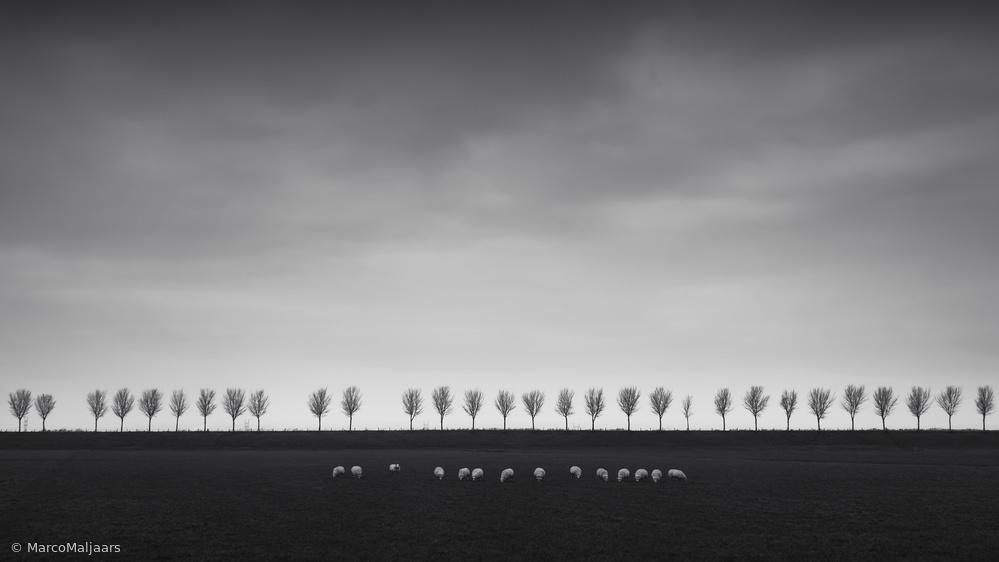 Dutch Polder - The sheeps