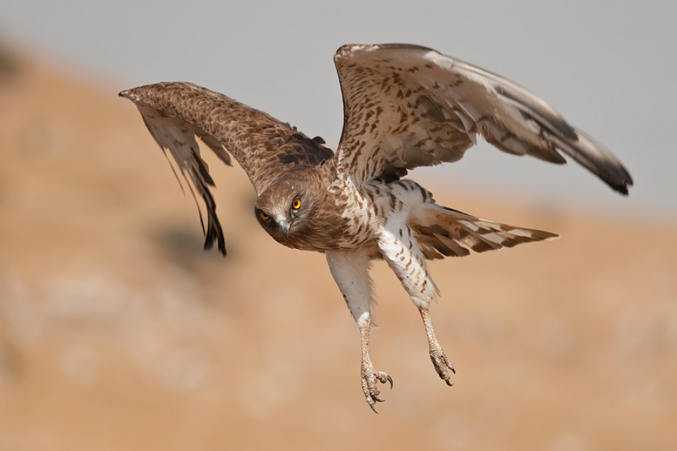 A piece of fine art art photography titled Short-toed Eagle by nissim