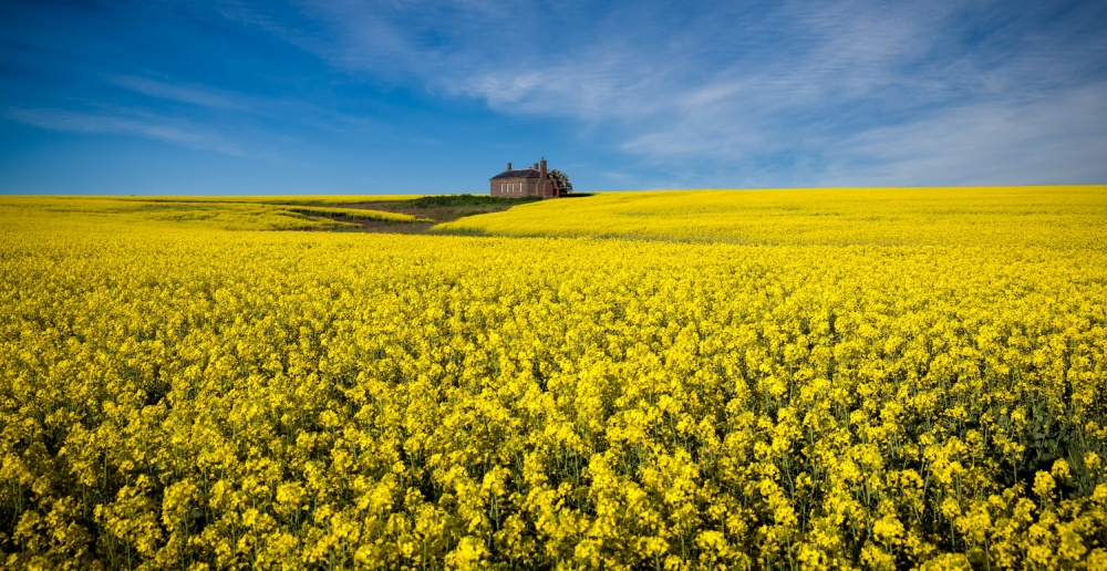 A piece of fine art art photography titled The Canola Field by Peter Elgar