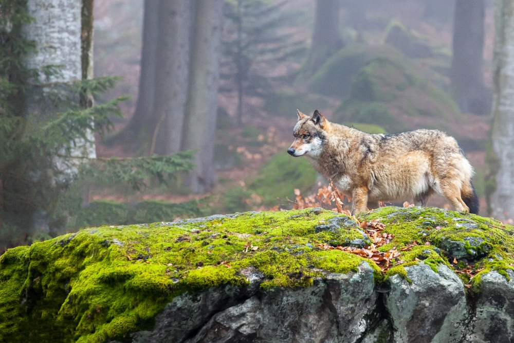 A piece of fine art art photography titled European Wolf by Andrej Topolovec