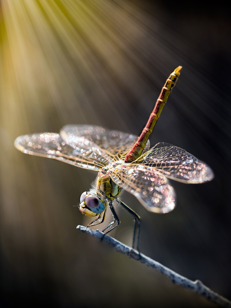A piece of fine art art photography titled Dragonfly 3 by antonio zoccarato