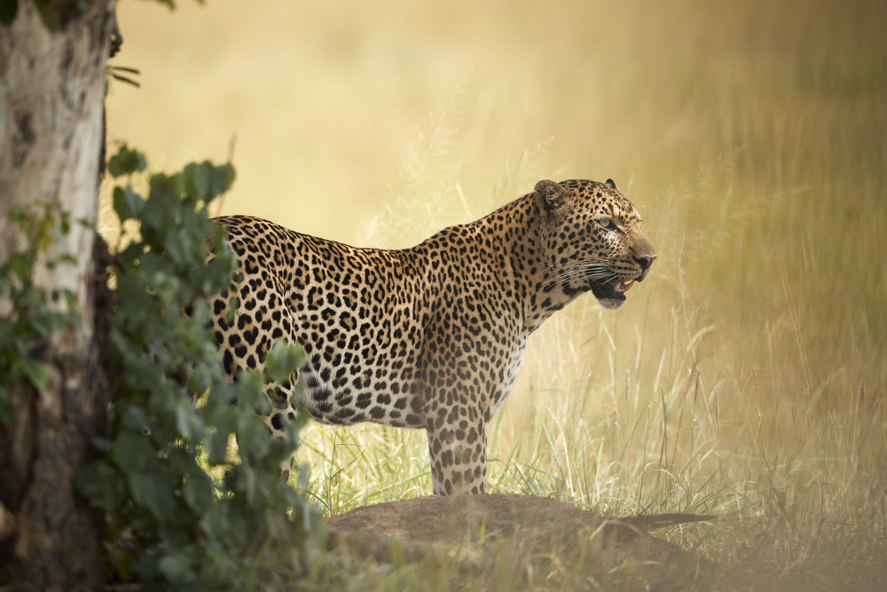 View this piece of fine art photography titled Leopard - Enjoying the cool breeze under the tree shade by holger droste