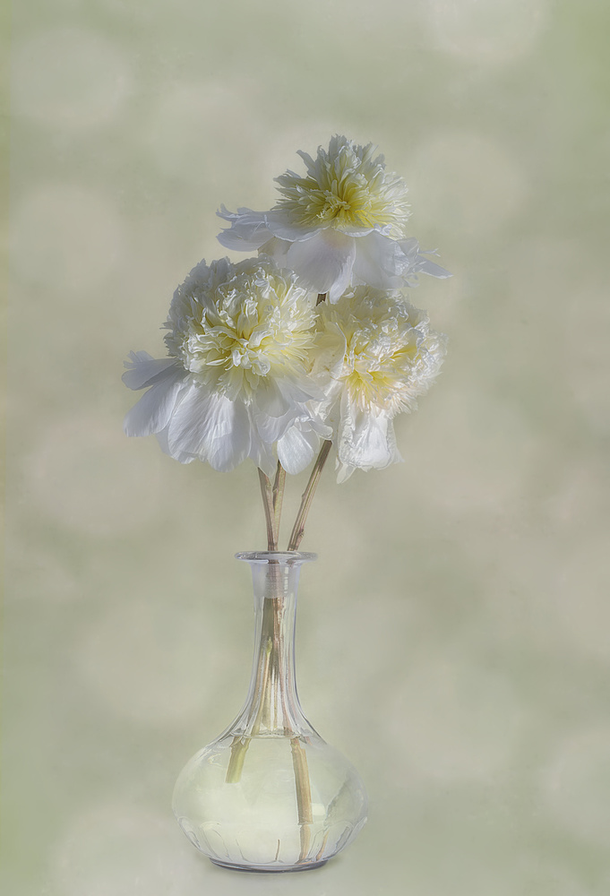 View this piece of fine art photography titled Peonies by Gaille Gray