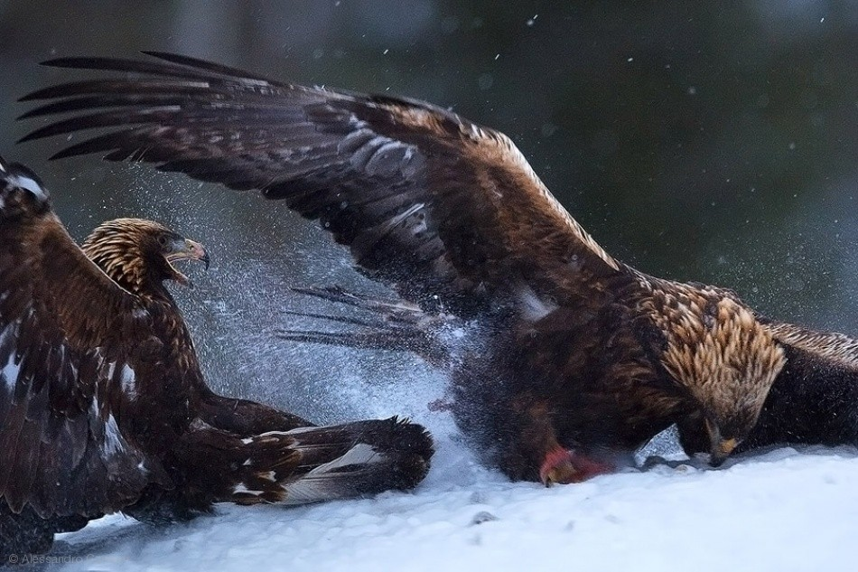 Two Golden Eagles fighting over dead Red Fox