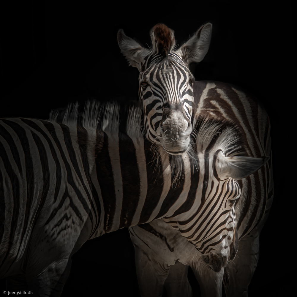... Zebra