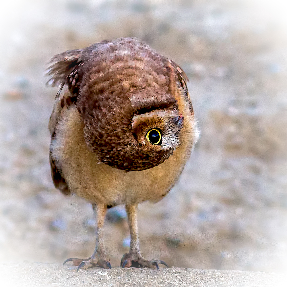 A piece of fine art art photography titled How the Owlet Sees the World- by Andrew J. Lee