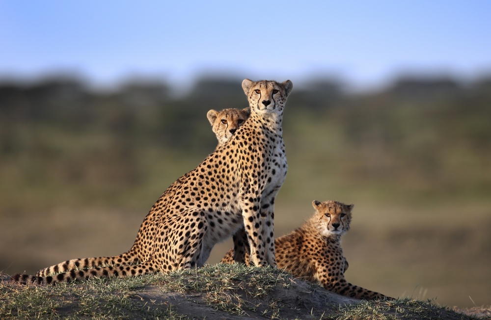 A piece of fine art art photography titled Cheetahs Family by Sultan Sultan Al Aseeri