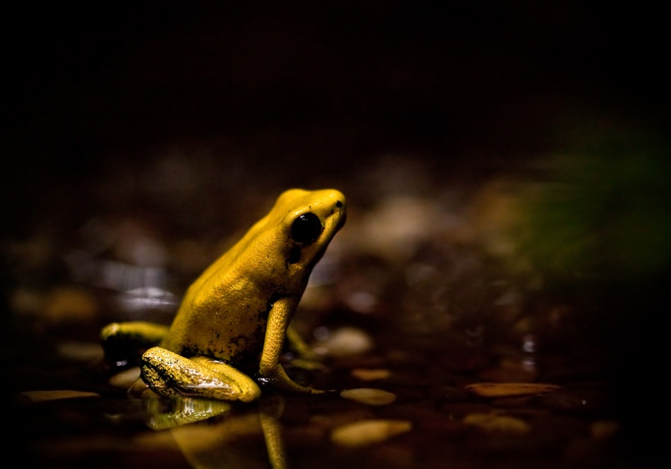 A piece of fine art art photography titled Phyllobates Terribilis - the Golden Dart Frog by AimishBoy