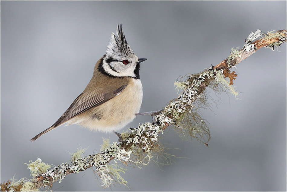 A piece of fine art art photography titled Crested Tit by Francesco Renzi