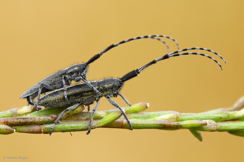 View this piece of fine art photography titled Long-horned Beetle by Hasan Baglar
