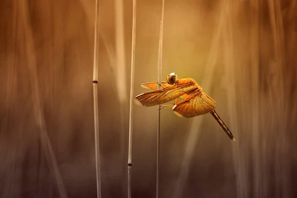 A piece of fine art art photography titled Golden Fly by ALFIAN ISMAIL