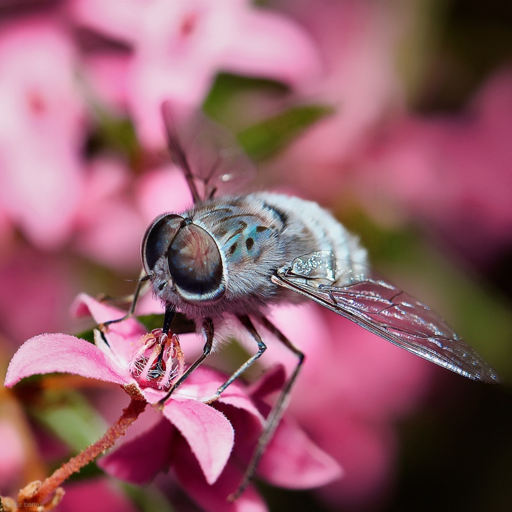 BERONIA LEDIFOLIA & BEE FLY