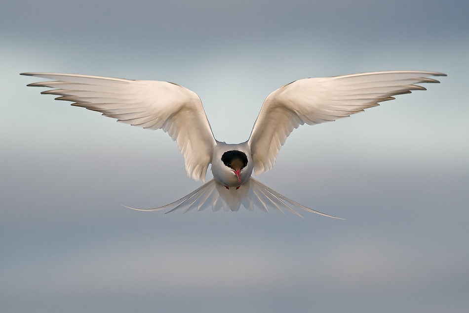 A piece of fine art art photography titled Arctic Tern by Amir Ayalon