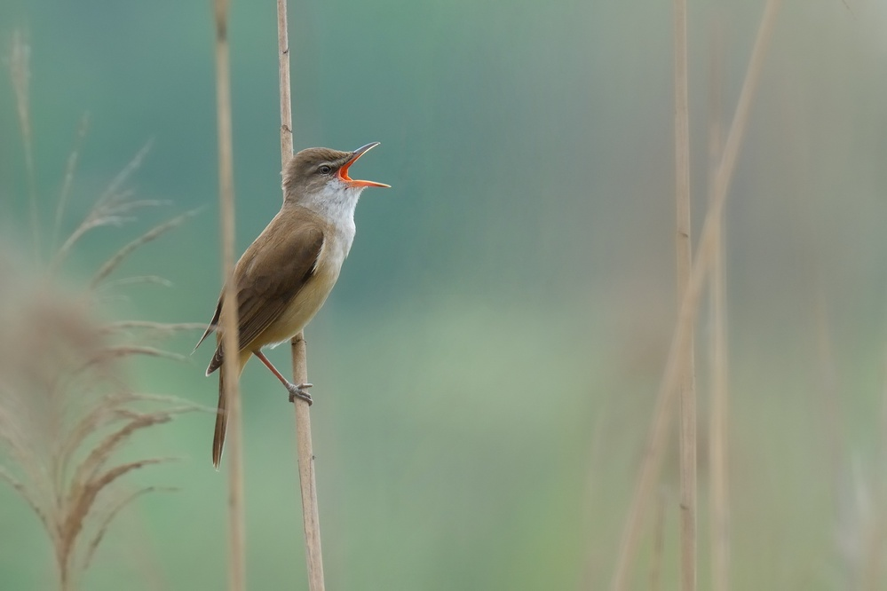 the singer of the reed