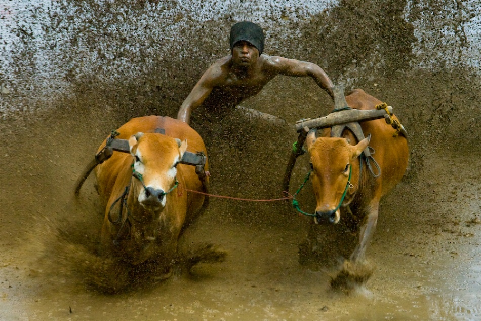 A piece of fine art art photography titled Pacu Jawi (Cow's Race) by Muhammad Fadli