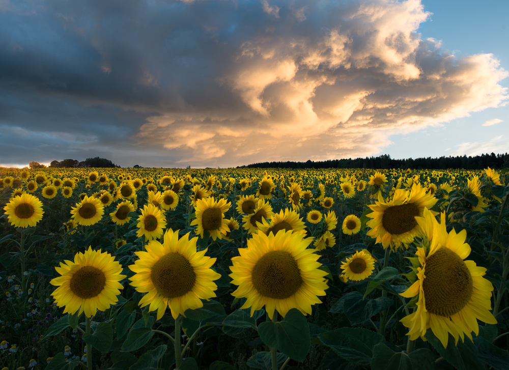 A piece of fine art art photography titled Sunflowers In Sweden by Christian Lindsten