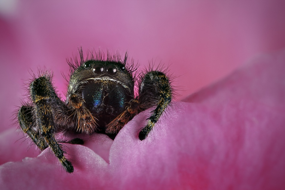 A piece of fine art art photography titled Jumper Spider by M.Alkhamis